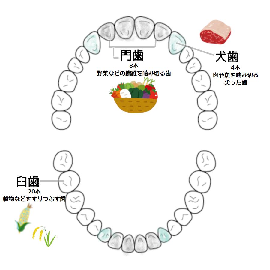 人間の歯の構造